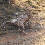 Cheetahs playing