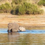elephants started swimming