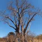 Walked to see Big Tree - Baobab