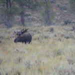 Moose at Grand Teton