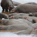 Una cinquantina di ippopotami di fronte alle lodge