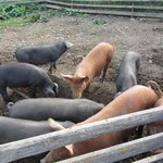 The happiest pigs in the world, at Crannog