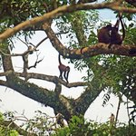 Spider Monkeys Taken From Our Cabina Decking