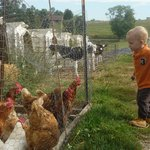 chickens and baby cows