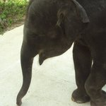 Candy the baby elephant