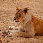 Lion near camp
