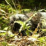 Porcupine Near summit