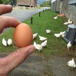 Frittgående høner gir gode egg til frokost