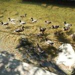Ducks in the creek