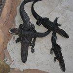 The alligators at Congo