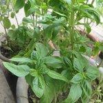 home grown basil