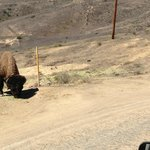 One of Catalina's Famous Bison