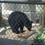 Black bear's plank feast!