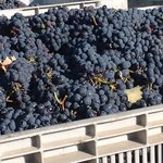 sangiovese grapes of MONTIONI Winery