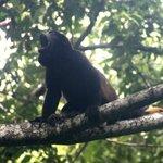 Howler Monkey (jungle tour)