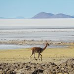 A vicuna on the edge of the salt plain