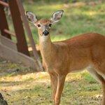 Deer in Frannie's yard