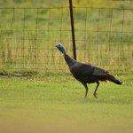 Wild turkey in Frannie's yard
