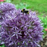 Allium and bee in The Dulaig garden