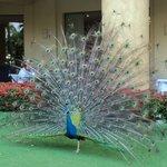 Loved the wandering peacocks