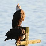 Bald eagle calling, alongside his mate, watched from Seasmoke's accommodation