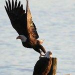 Bald eagle takes off, a huge, impressive wingspan