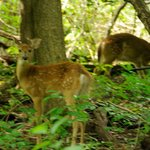 Fawns in Peace Valley Park