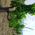 Garnatxa- vinyes velles
