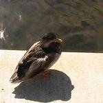 Naperville Duck