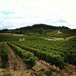 Виноградники на холмах