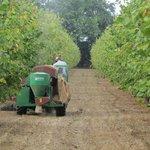 Harvesting the hazel nuts.
