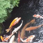 The koi from my room