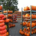 Pumpkins plentiful in the fall season.