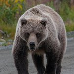 Bear on Road Near Lodge