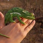 the only animal we got to handle on the trip, a chameleon!