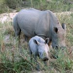 one of many mother rhinos with their calves we saw