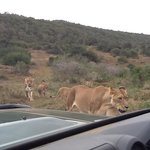 lionesses & 3 cubs  being followed by two bull elephants!