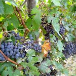 Grapes reading for harvesting