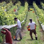 Harvest at Davis Vineyard