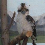 kooka bird