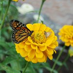 Monarch Butterfly With Smaller Friends