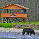 Grizzly eating a fish in front of the viewing stand
