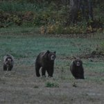 Grizzly mom playing with cubs in front of the cabins