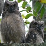 Baby owls in the front tree