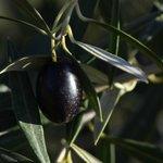 Un olivo en el jardín