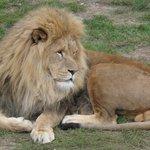 Father-lion