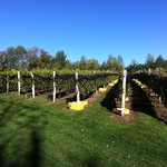 The Vines are Ready