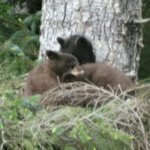 Bear cubs near Eagle Beach