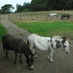Stanford Donkeys!