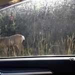 Deer in the Parking lot